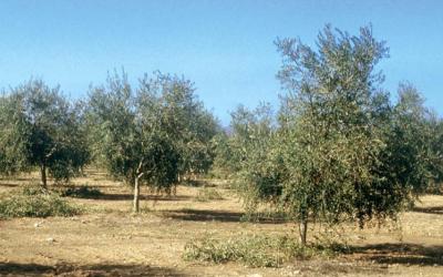 Influencia de la poda del olivo en la producción de AOVE de alta gama.
