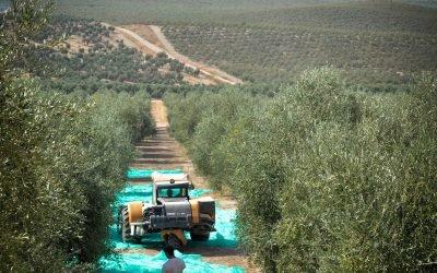 Recogida de aceituna de la finca de Frantoio de OIeícola Jaén